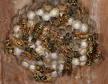 Georgia Wasp Removal