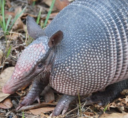 Crescent City Armadillo Control