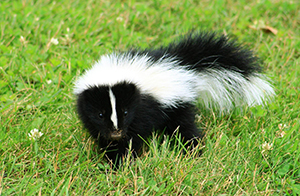 Crescent City Skunk Control