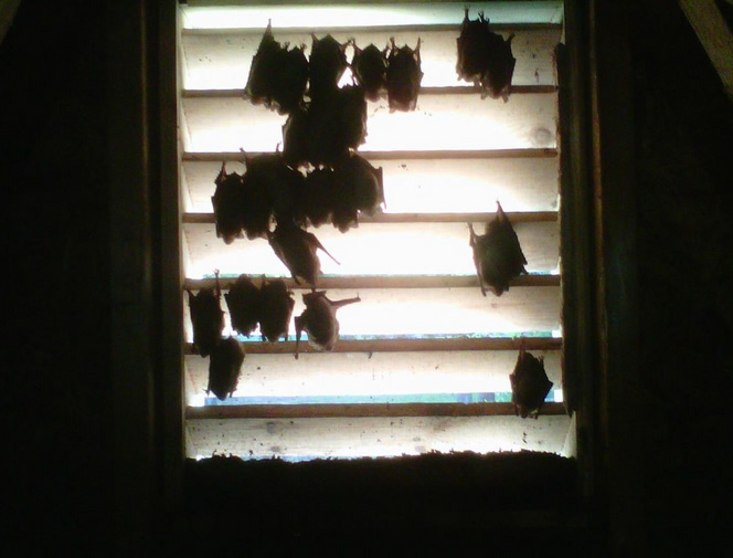 Bats in Gable Vent