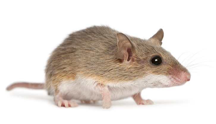 Professional Mice Control Services Mice Removal