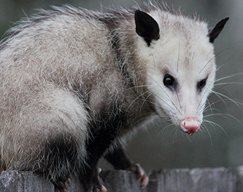 Crescent City Opossum Control