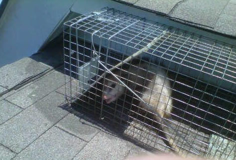 Opossum trapping