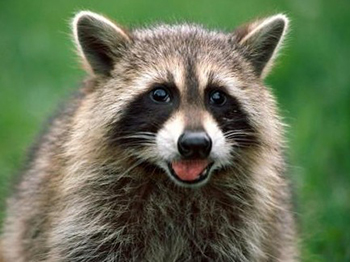 Harrisville Raccoon Control
